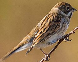 Male Reed Bunting in winter plumage