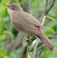 Reed Warbler http://www.flickr.com/photos/25553993@N02/