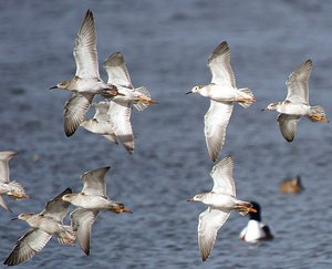 Flock of Ruff flying