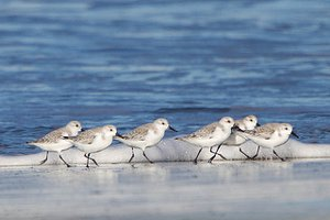 Flock of Sanderling in winter plumage feeding