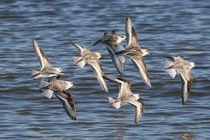 Flock of Sanderling in winter plumage flying