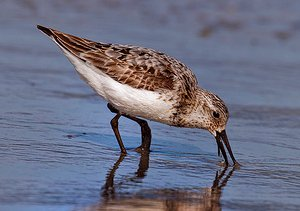 Sanderling in summer plumage