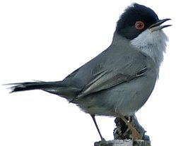 Male Sardinian Warbler identification points