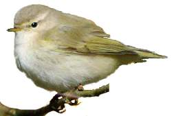 Identification points of Siberian Chiffchaff