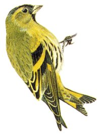 Identification points of a Siskin