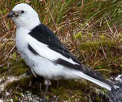 Male Snow Bunting in summer plumage