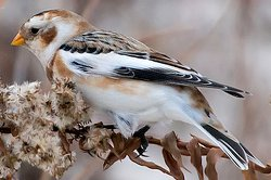 Male Snow Bunting in winter plumage