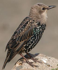 Starling identification juvenile plumage