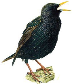 Starling identification summer plumage