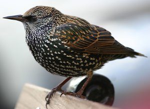 Adult Starling in winter plumage