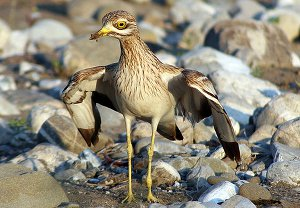Adult Stone Curlew