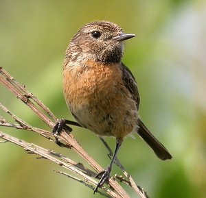 Male Stonechat winter plumage