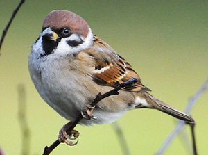 Adult Tree Sparrow
