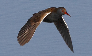 Water Rail in flight