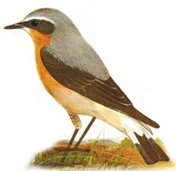 Male Wheatear identification