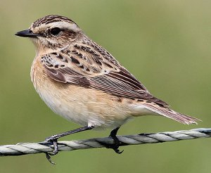 Female Whinchat identification