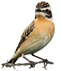 Male Whinchat identification