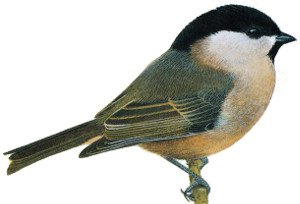 Key identification points of a Willow Tit
