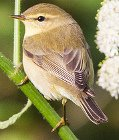 Willow Warblers wing length