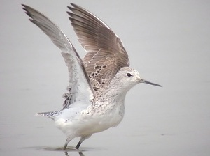 Wood Sandpiper showing pale underwing