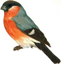Identification points of a Male Bullfinch
