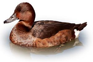 Identifying a Female Ferruginous Duck