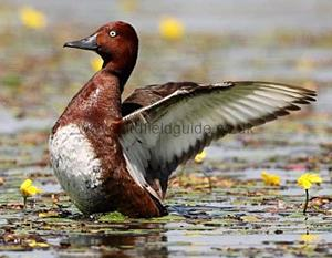 Identifying a Male Ferruginous Duck