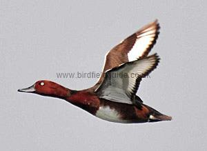 Identifying a Male Ferruginous Duck in flight