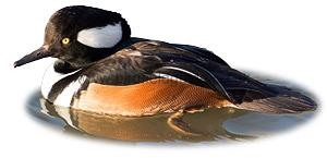 Identifying a Male Hooded Merganser