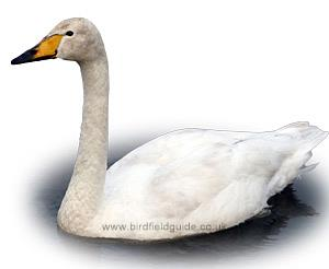 Identifying a Whooper Swan