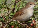 Whitethroat side view