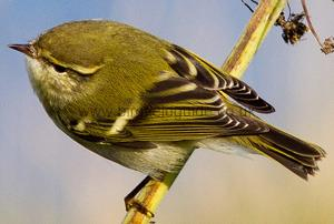 Identifying a Yellow-browed Warbler
