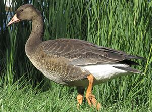 Identifying a Juvenile White-fronted Goose