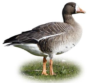 Identifying a White-fronted Goose