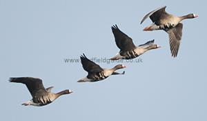 White-fronted Goose in flight
