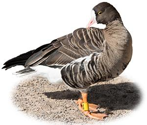Identifying a Lesser White-fronted Goose