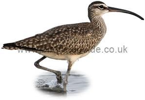 Whimbrel identification