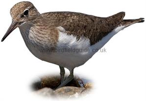 Common Sandpiper identification