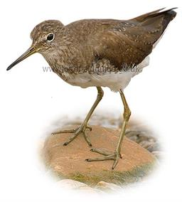 Green Sandpiper in winter plumage identification