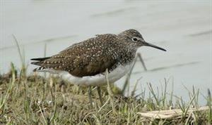 Green Sandpiper in summer plumage