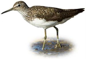Green Sandpiper in summer plumage identification