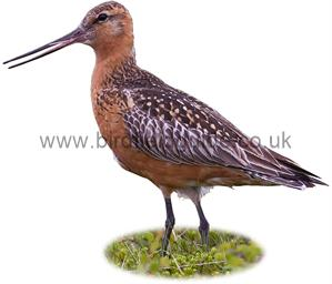 Bar-Tailed Godwit in summer Plumage identification