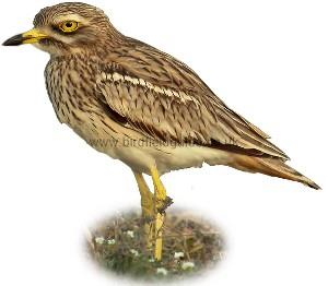 Stone Curlew identification