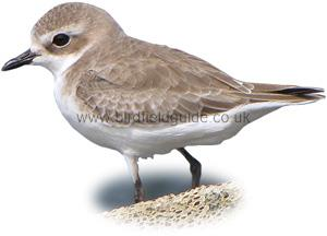 Kentish Plover female