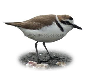 Kentish Plover identification