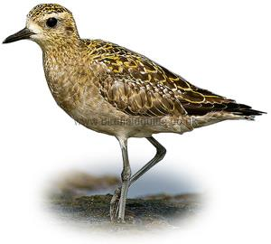 Golden Plover winter plumage