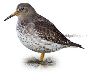 Purple Sandpiper in winter plumage identification