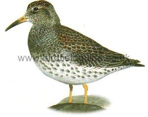 Purple Sandpiper in summer plumage