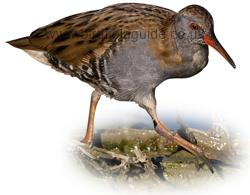 Identifying a Water Rail