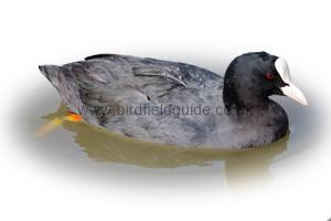 Identifying a Coot